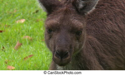 Baby Kangaroo Eating Grass - Handheld, close up shot of a...