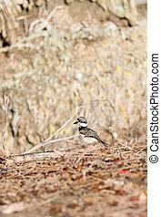 Baby killdeer Charadrius vociferus chick along the edge of a...