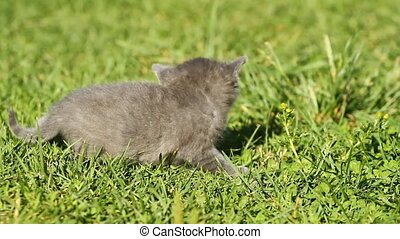 Baby kitten meowing on the green grass