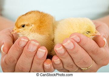 baby, kycklingarna, kvinna, sömnig, räcker