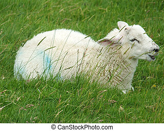 baby lamb sitting in a field behind grass calling out