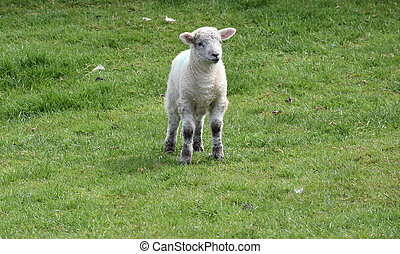 Baby Lamb Standing in a Farm Yard in the Spring