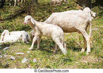 Baby lamb with his mother on mountain meadow.