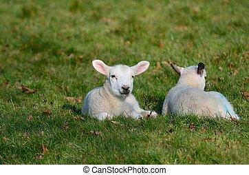 Baby Lambs in field