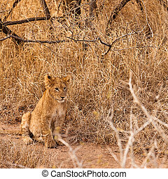Baby lion sitting in the grass