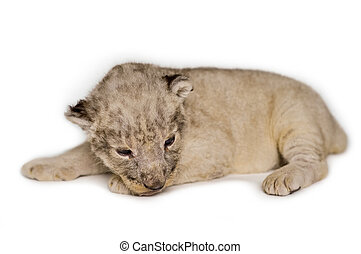 Baby Lion - A cute little lion cubs on the white background.