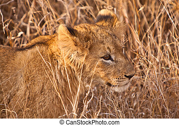 Baby lion walking in the grass