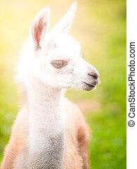 Baby llama portrait. Cute south american mammal.