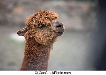 Baby llama portrait, shallow depth of field
