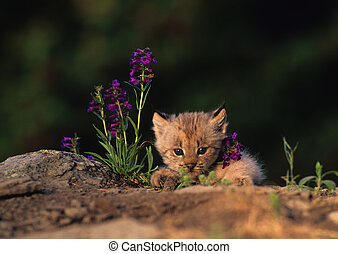 baby, lodjur, in, wildflowers