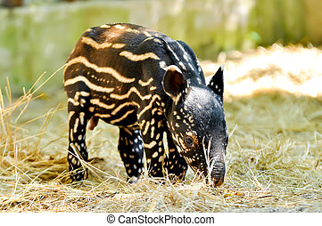 baby, malaiischer tapir