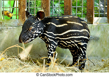 Baby malayan tapirs have striped-and-spotted coats for ...
