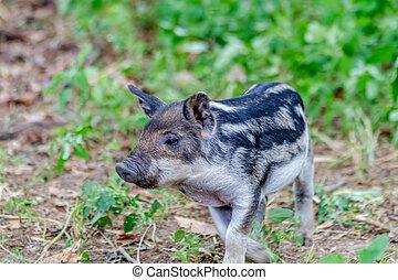 Baby Mangalitsa Piglets on Organic Farm