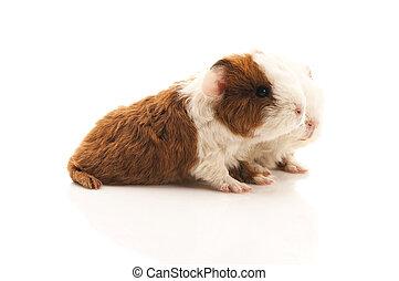 baby, meerschweinchen