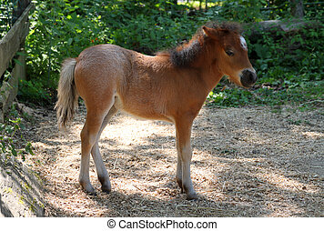 Baby miniature horse - Baby brown miniature horse in the...