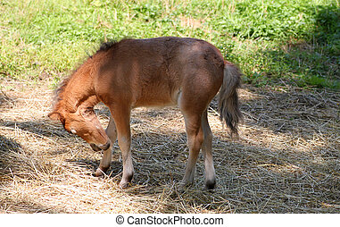 Baby miniature horse in the pasture biting at it's leg