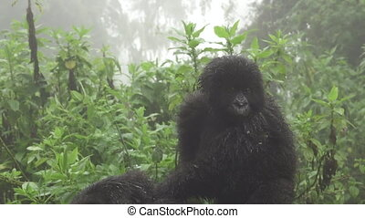 Baby mountain gorilla over mom, zooming