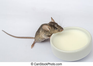 Baby mouse drinking milk - Wild baby mouse drinking milk on...
