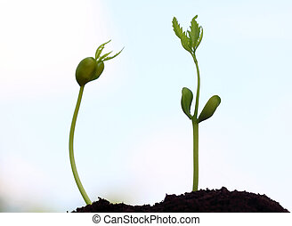 Baby neem plants emerge out from ground