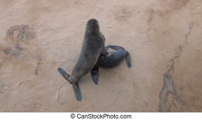baby of Brown fur seal - sea lions, Namibia, Africa wildlife...