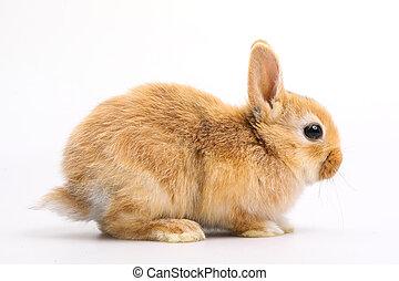 Baby of orange rabbit on white background - Baby of orange...