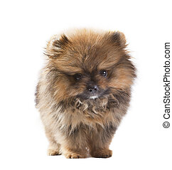 baby of pomeranian dog isolated white in studio