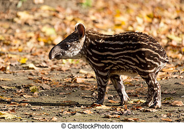 baby of the endangered South American tapir - small stripped...