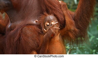Adorable baby orangutan holds on to its mother with one hand while eating an orange with the other at the zoo.