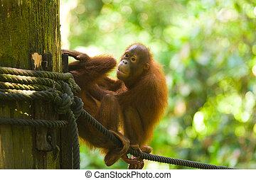 Baby Orangutans Play Rope Horizontal - Adorable baby...