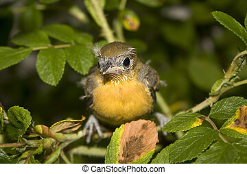 baby, oriole