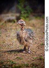 Baby Ostrich portrait .Solo baby ostrich stand on forest .World larges bird ostrich .Baby ostrich portrait close up
