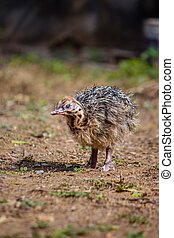 Baby Ostrich stand solo and searching its mother ostrich on forest. World larges bird ostrich .Baby ostrich portrait close up