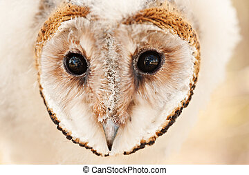 baby owl chick - macro head one baby African grass owl chick...