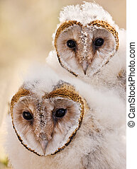 baby owl chick - macro of two baby African grass owl chick's...