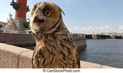 Baby owl looking around day city - Medium shot cute owl...