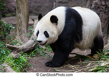A baby panda walks during the day in San Diego, California, USA