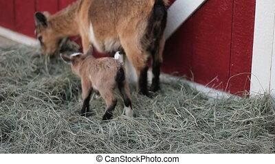 baby pigmy goat run - Cute baby pygmy goat runs to his Mom