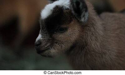 baby pigmy goat xcu - Portrait of a cute fuzzy 1 day old...