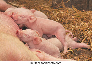 Baby Pigs Feeding with Mother - Momma pig feeding the kids.