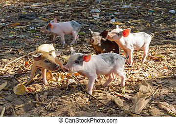 Baby pigs - A litter of baby pigs in the morning sun in...