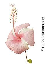 Baby pink hibiscus