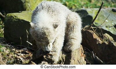 Baby polar bear playing - New-born baby polar bear playing