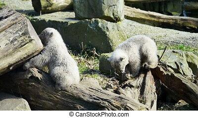 Baby polar bears playing