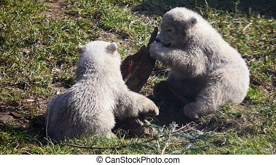Baby polar bears playing - New-born baby polar bears playing...