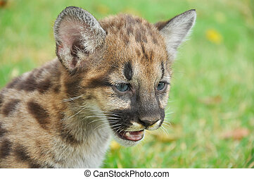Baby Puma and kitten are very similar. But baby puma is a ...