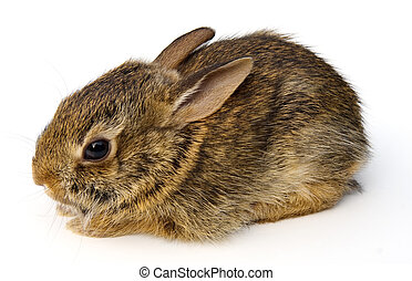 Wild baby Eastern Cottontail rabbit (Sylvilagus floridanus) isolated on white background.