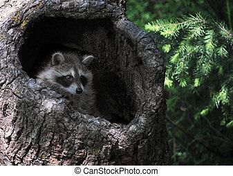 Baby raccoon in tree