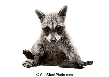 Baby raccoon on white background - Baby raccoon - Procyon ...