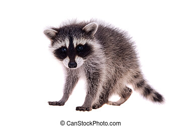 Baby raccoon on white background - Baby raccoon - Procyon...