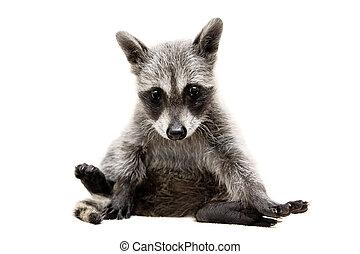 Baby raccoon on white background - Baby raccoon - Procyon...